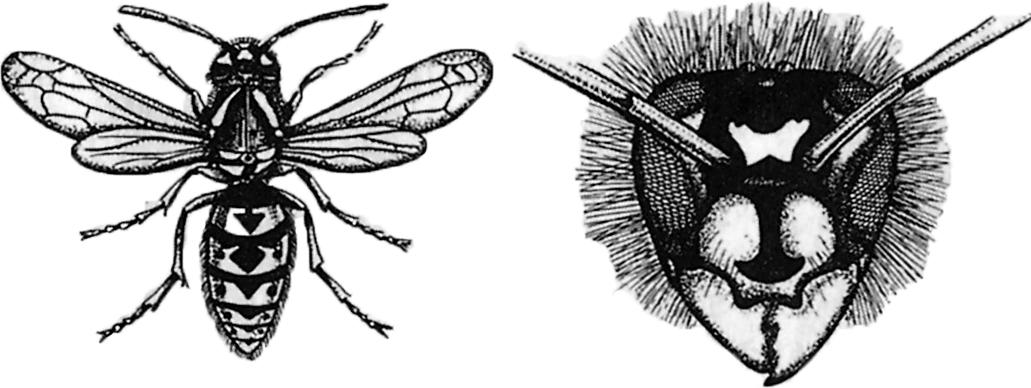 wespen beseitigen wespen stehen unter artenschutz with wespen beseitigen cool wespen. Black Bedroom Furniture Sets. Home Design Ideas